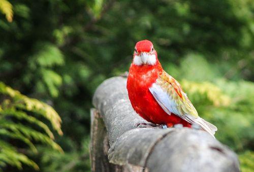 parrot bird madárféle