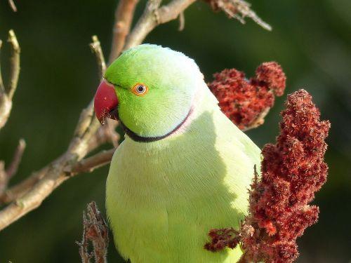 parrot rhus green