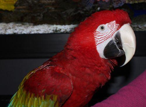 parrot bird red parrot