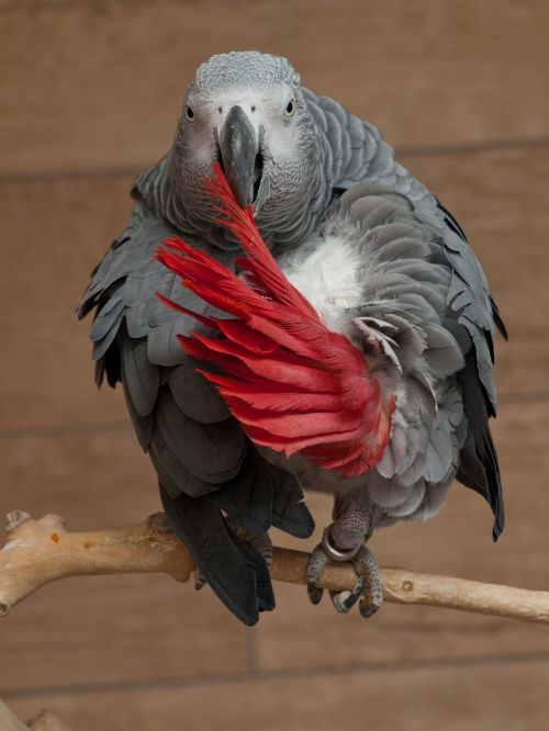 parrot psittacus erithacus african grey parrot