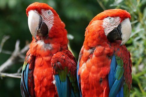 parrot ara colorful