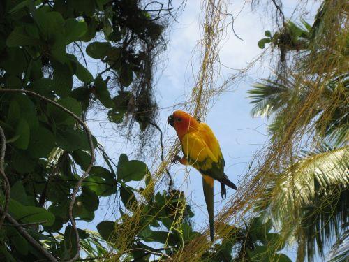 parrot maldives bird