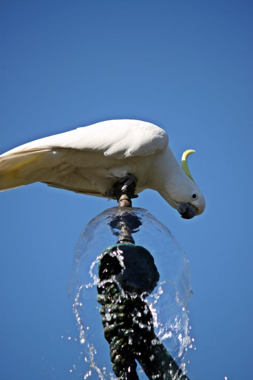 Parrot Drinking Fountain Water 4