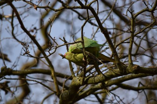 parrots richmond park london