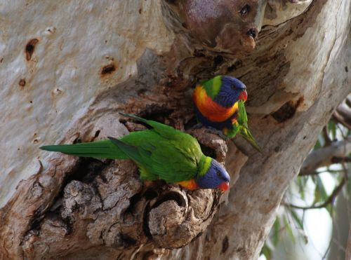 parrots pair gumtree