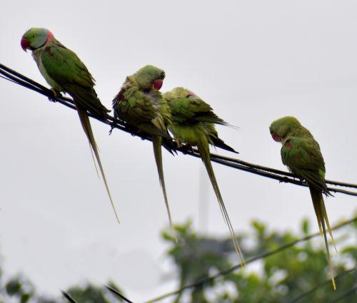 parrots raining birds