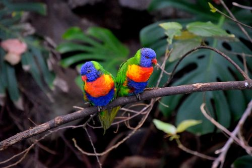 parrots bird couple colorful
