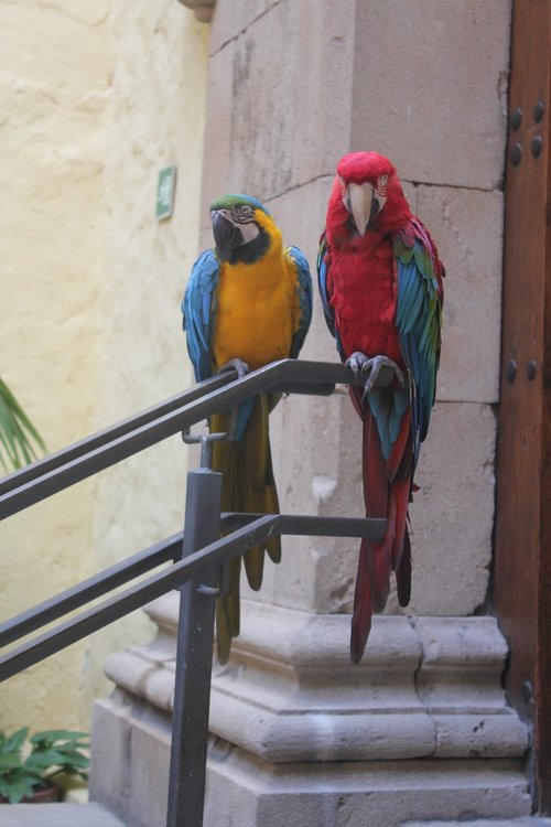 parrots  canary islands  bird