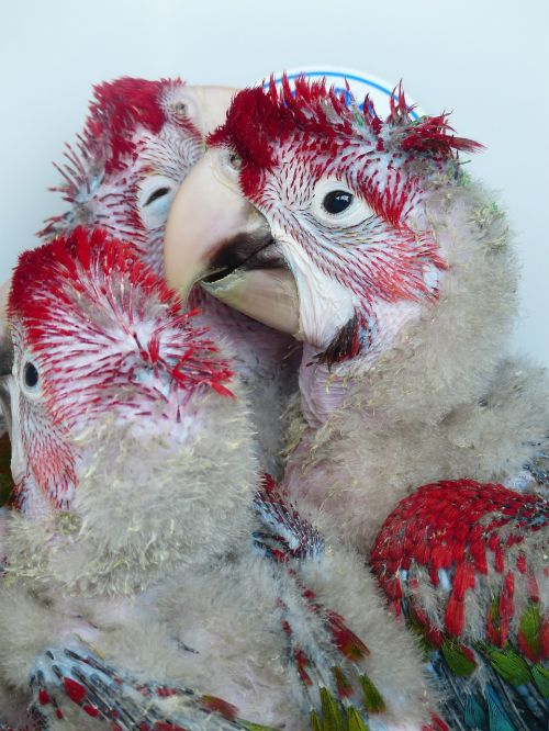 parrots young birds rearing