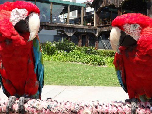 parrots birds red