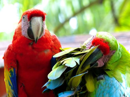 parrots animals colorful