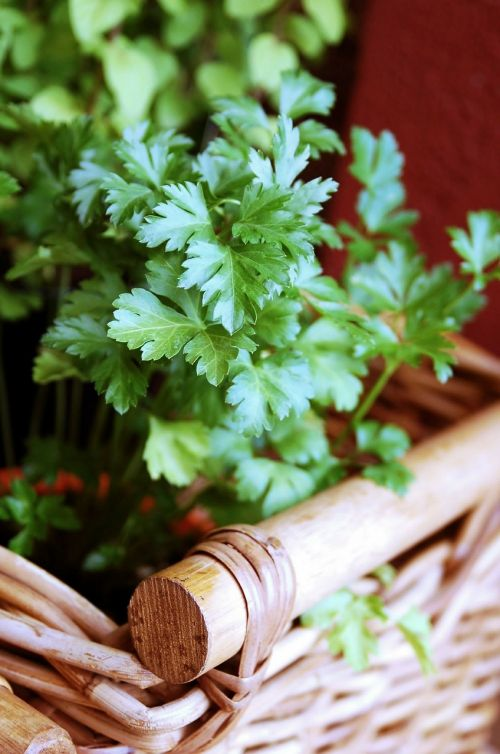 parsley herbs aromatic herbs