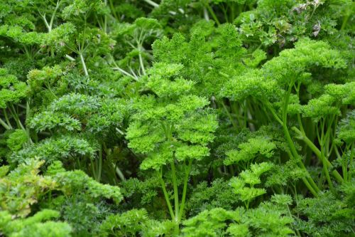 parsley branches of persil condiment