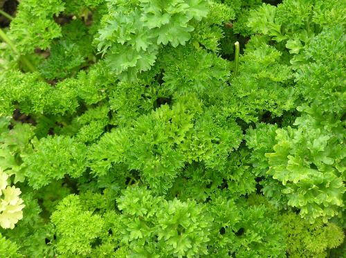 parsley spice herbs