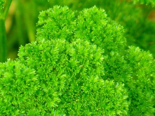 parsley green spice