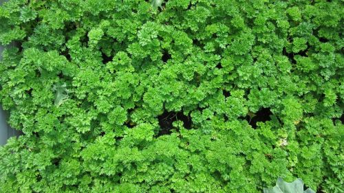 parsley leaves kitchen herb
