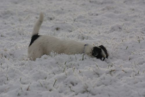parson russell terrier jack russell terrier snow