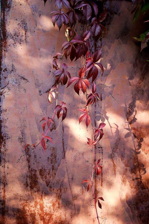 parthenocissus autumn autumn leaves