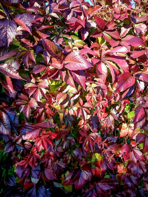 parthenocissus red leaves autumn