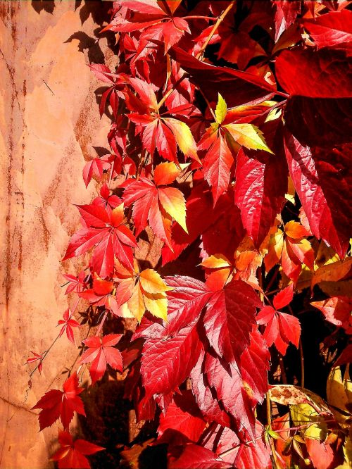 parthenocissus leaves red leaves