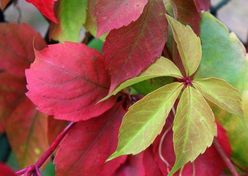 parthenocissus wild wine autumn leaves