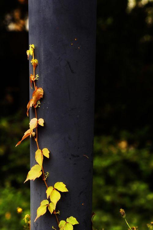 parthenocissus plants vine climbing