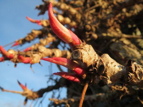 parthenocissus quinquefolia virginia creeper victoria creeper