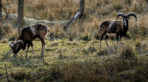 Grazing Mouflon