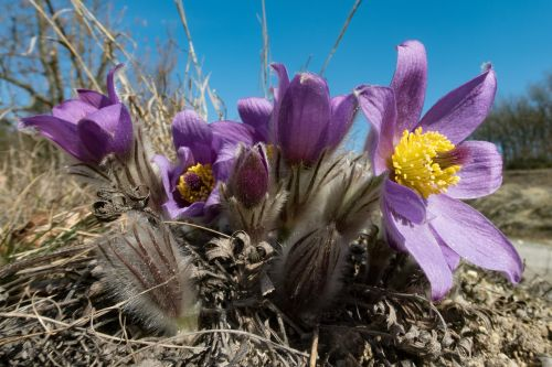 pasque flower pulsatilla flower