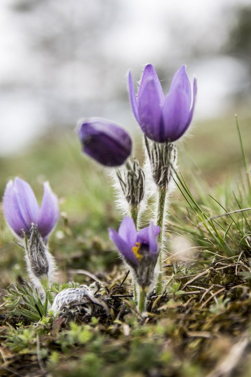 pasque flower  nature  spring