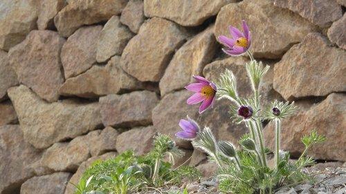 pasque flower  pulsatilla  prysk