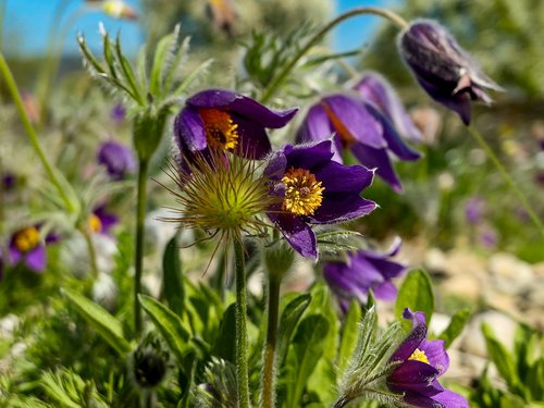 pasque flower  plant  hairy