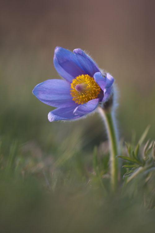 pasqueflower pasque flower pulsatilla