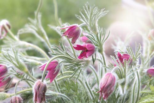 pasqueflower,paprastas pasque gėlė,pavasaris,pasque gėlė,pavasario gėlė,augalas,gėlė,žiedas,žydėti,purpurinė gėlė,žydėti,flora,gėlių sodas,sodas