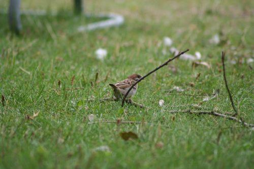 passer domesticus bird sparrow