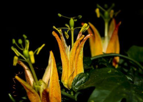 passiflora blossom bloom