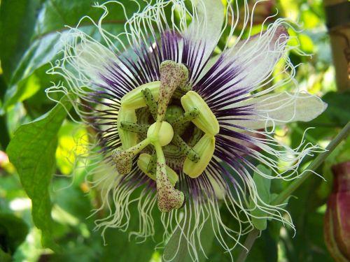 passiflora edulis x colvilli creeper