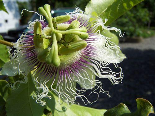 passiflora edulis creeper
