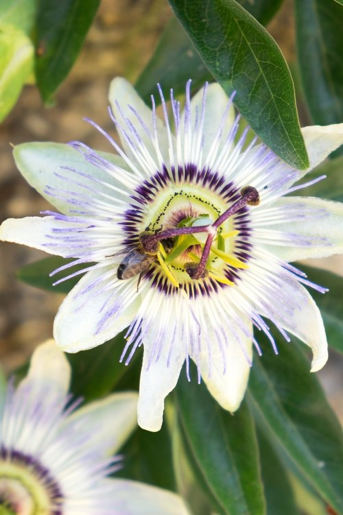 passion  passiflora  flower