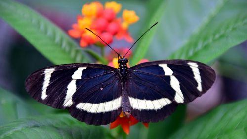 aistros drugelis,drugelis,egzotiškas,atogrąžų,vabzdys,sparnas,spalvinga,gražus,gėlės,nektaras,filigranas,švelnus,maistas,gamta,juoda,balta,dryžuotas,mėlynas