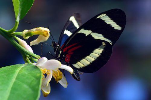 aistros drugelis,drugelis,egzotiškas,atogrąžų,vabzdys,sparnas,spalvinga,gražus,gėlės,nektaras,filigranas,švelnus,maistas,gamta,juoda,balta,dryžuotas