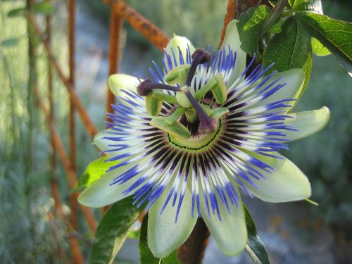 passion flower passiflora caerulea flower