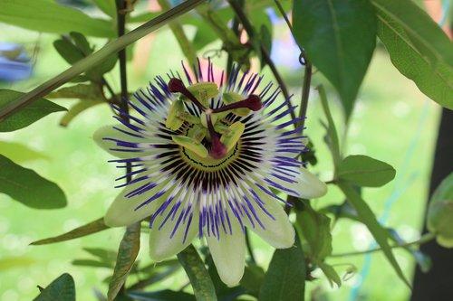 passion flower  purple  exotic