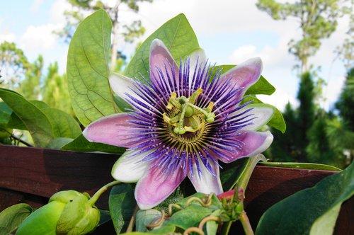 passion flower  trellis  vine