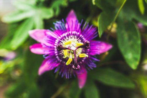 passion flower  exotic  blossom