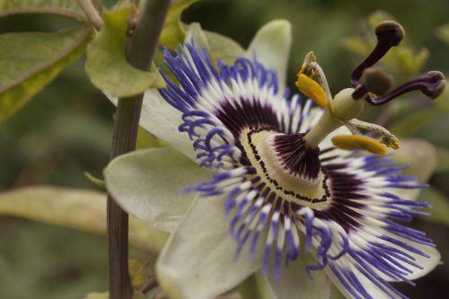 passion flower close-up passion plant
