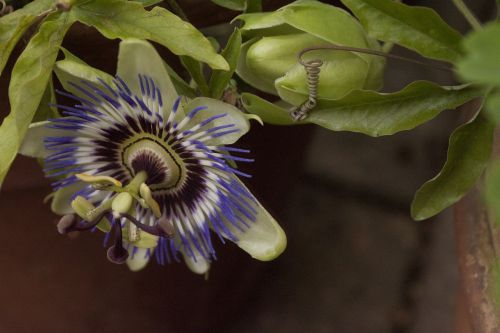 passion flower passion plant hanging down
