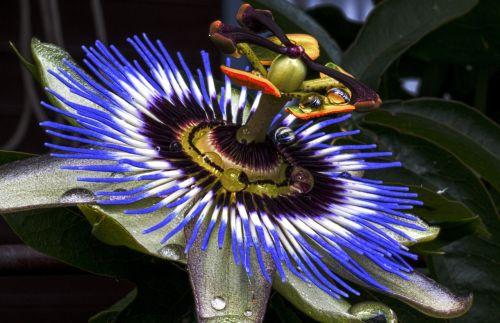 passion flower blue passion flower blossom