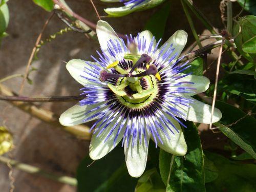 passion flower summer garden