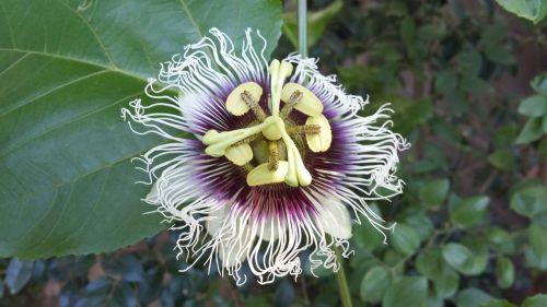 passion fruit passiflora passion flower